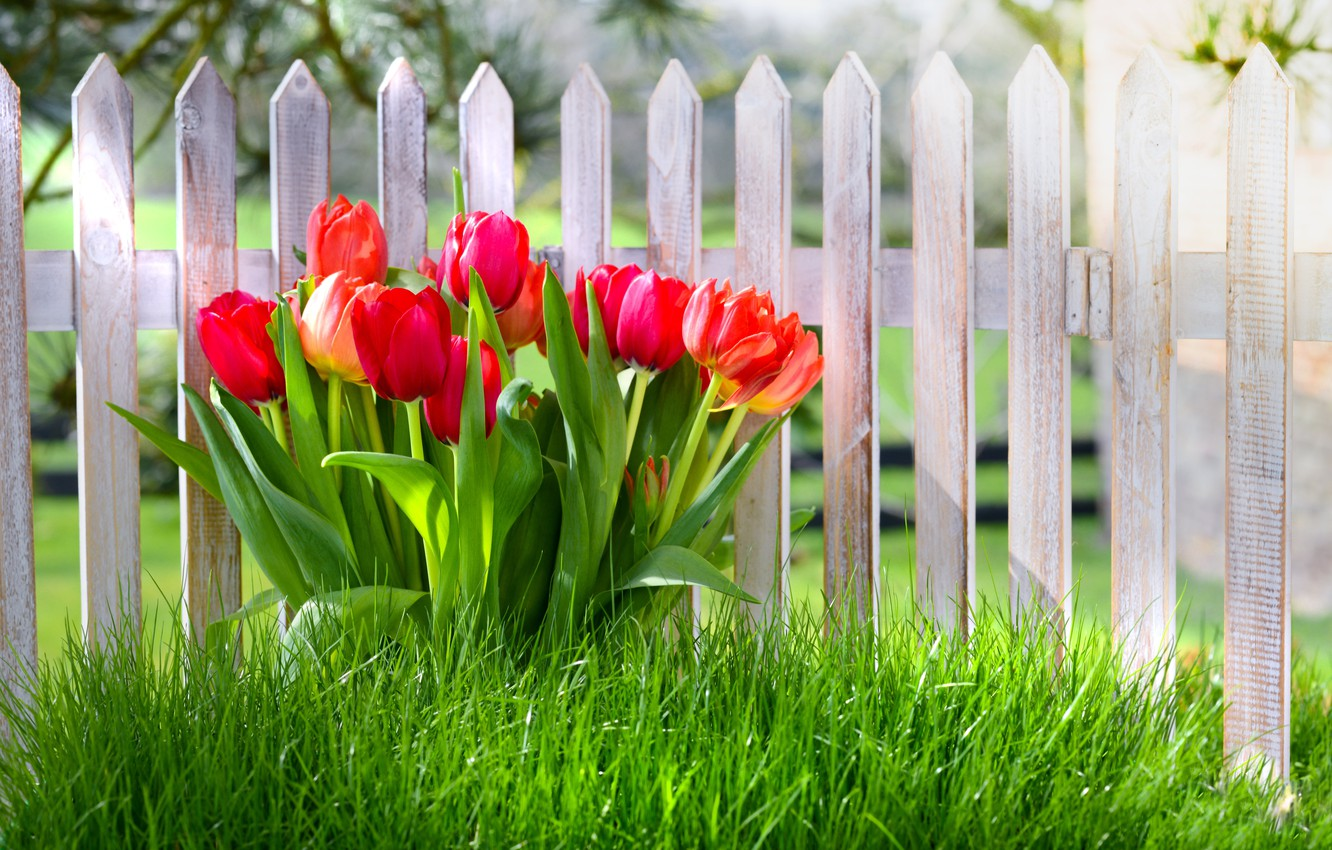 Photo wallpaper grass, flowers, the fence, spring, tulips, grass, nature, fence, spring
