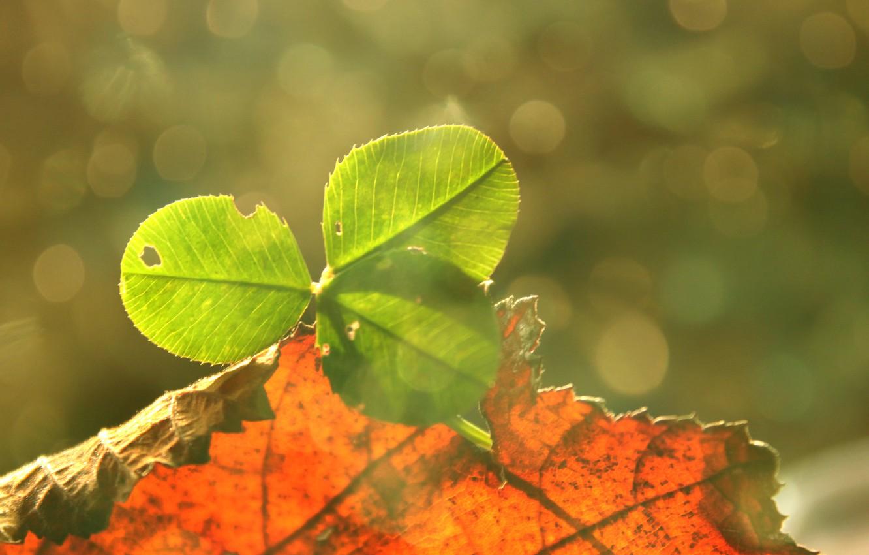 Photo wallpaper leaves, good luck, clover