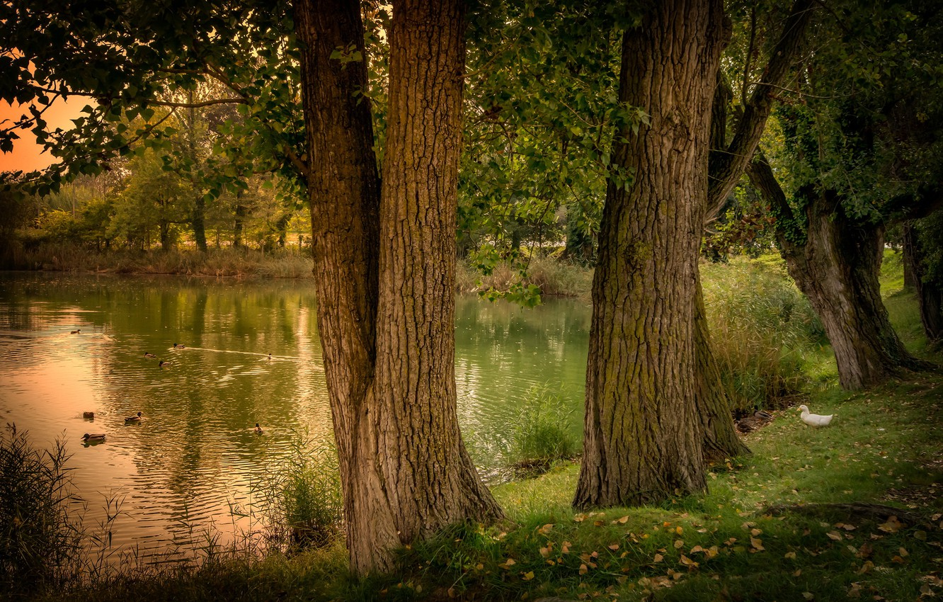 Photo wallpaper trees, pond, duck, Spain, nature, Spain, forest., pond, Gerona