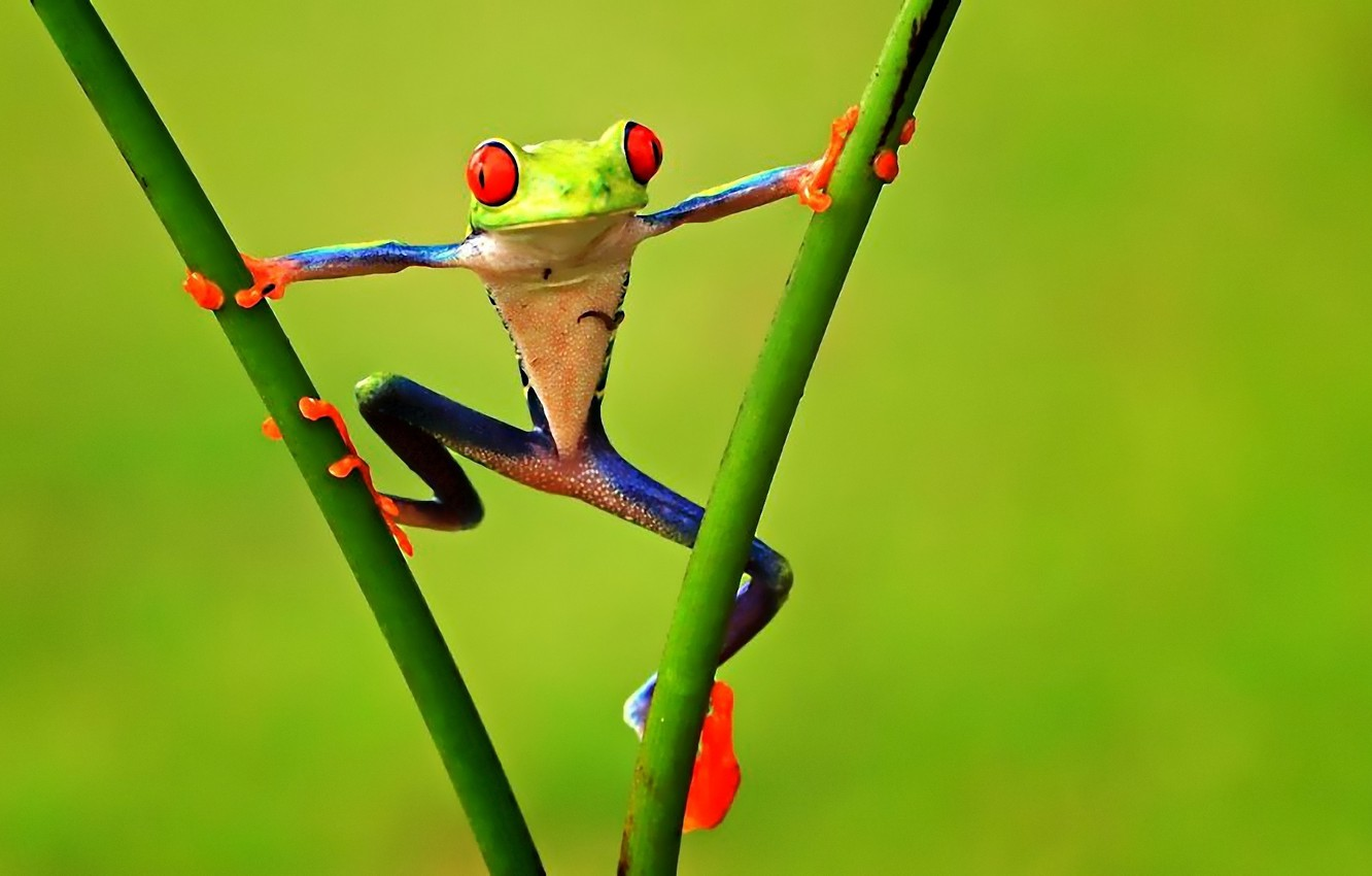 Photo wallpaper branches, Frog, treefrog