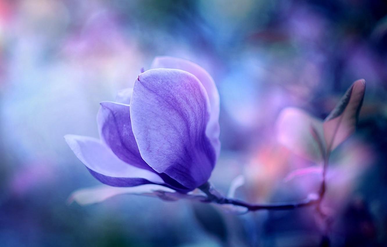 Photo wallpaper flower, macro, nature, background, Wallpaper, plant, wallpaper, Magnolia