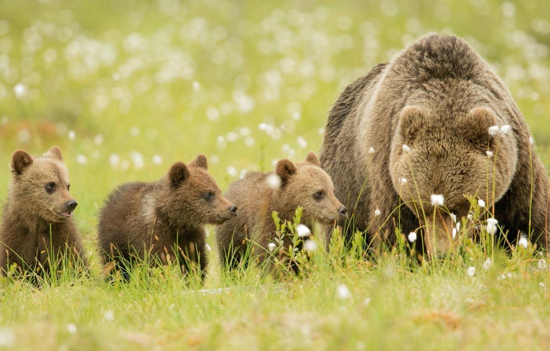 Photo wallpaper stay, glade, family, bears, bears, brown, bear, nature., bears, brown