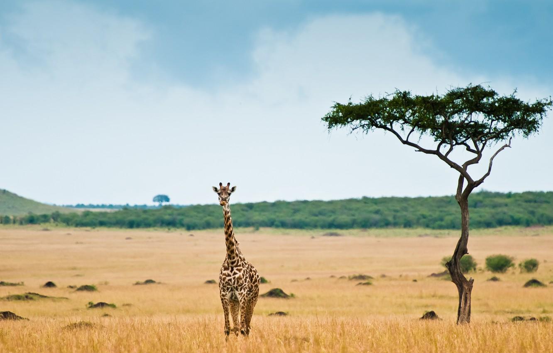 Photo wallpaper giraffe, Savannah, Africa