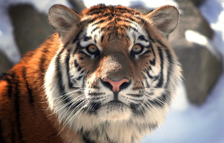 Photo wallpaper Tiger, Emotions, Animals, Tiger, Terrible, Animal, Expressions
