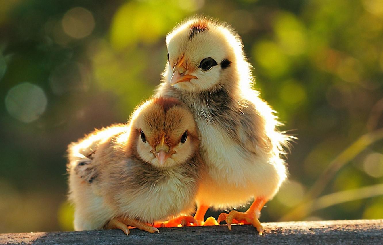 Photo wallpaper chickens, Birds, pair, Chicks