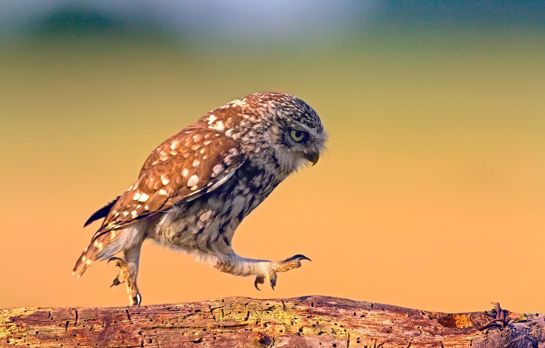 Photo wallpaper background, tree, owl, bird, texture, Board, walk, steps