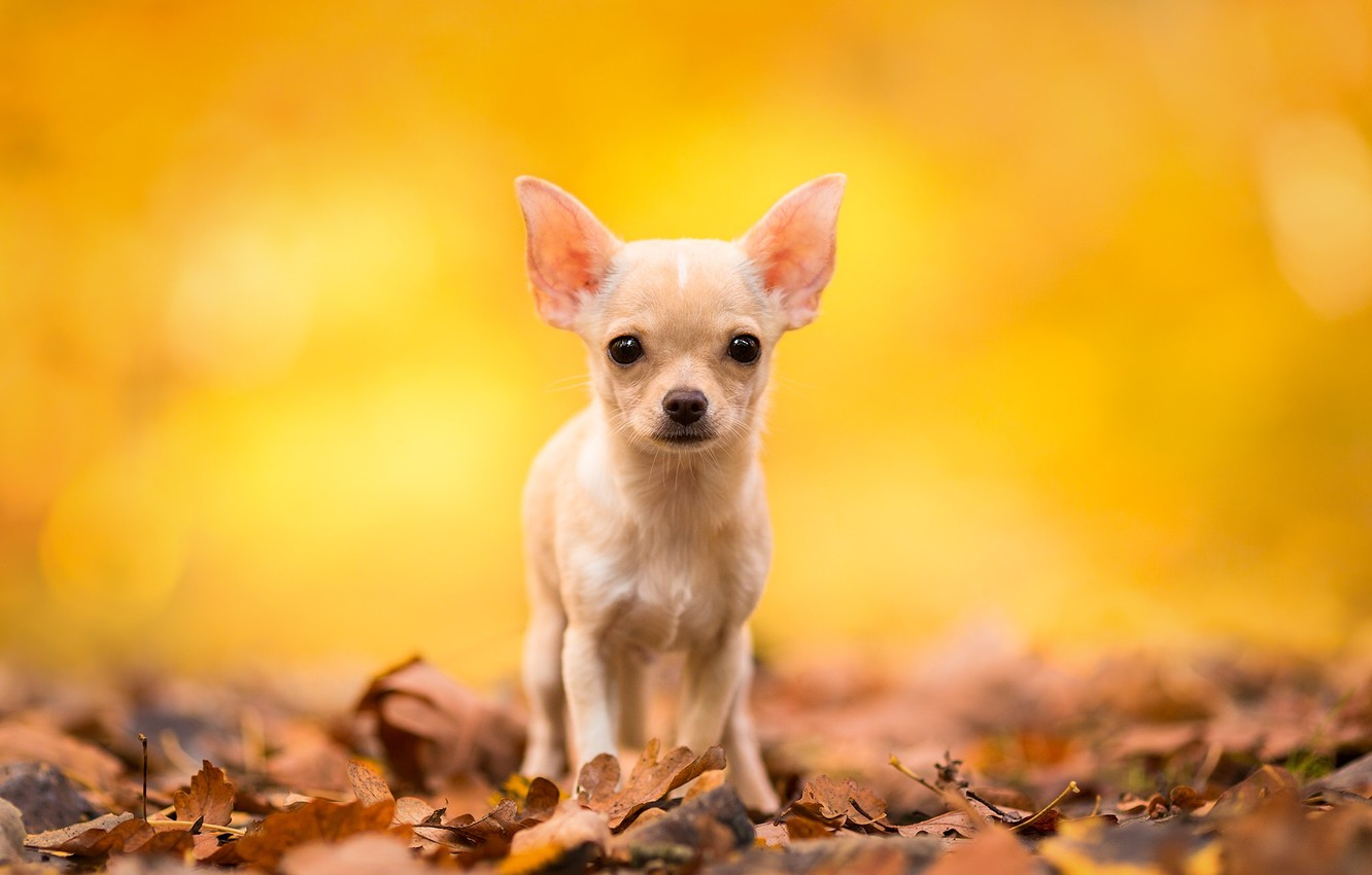 leaves, dog, Chihuahua, doggie, dog