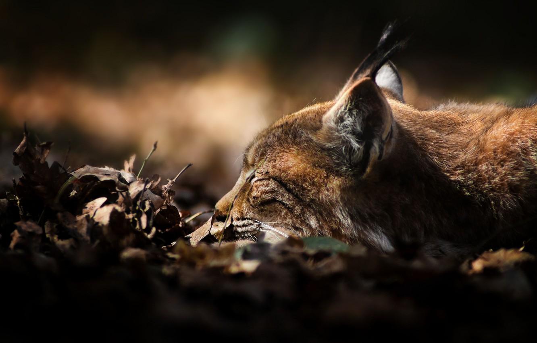 Photo wallpaper leaves, predator, dry, sleeping, lies, lynx