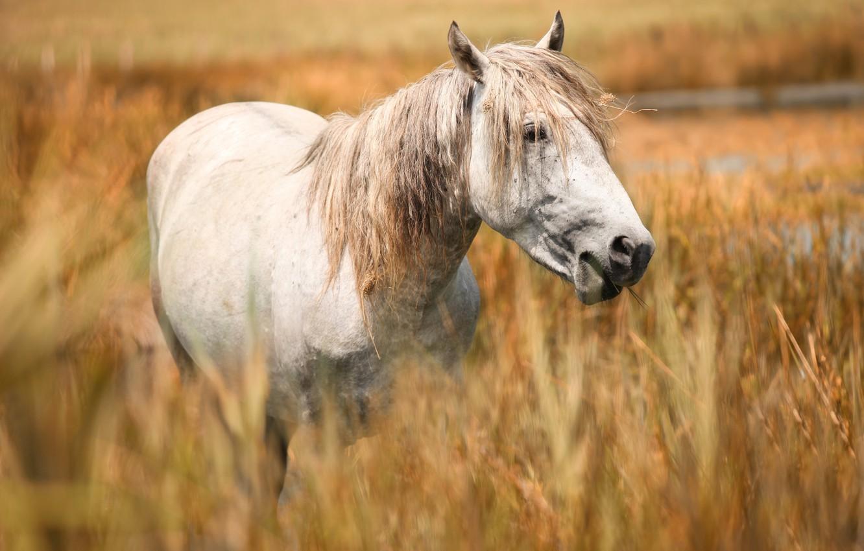 Photo wallpaper field, face, horse, horse, portrait, white, cereals, grazing, Wallpaper from lolita777