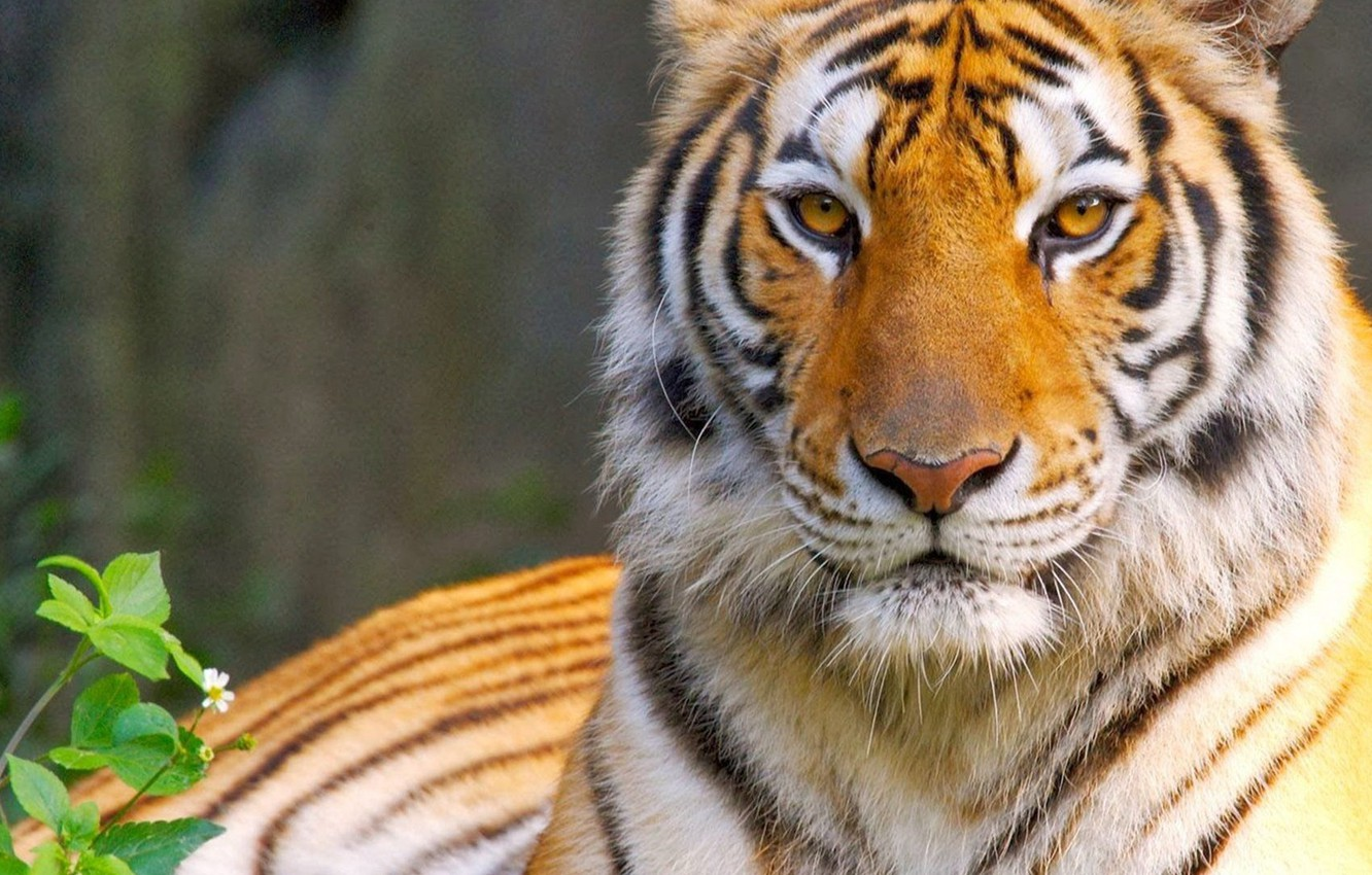 Wallpaper Cat Eyes Look Tiger Predator King Tiger Eyes Cat