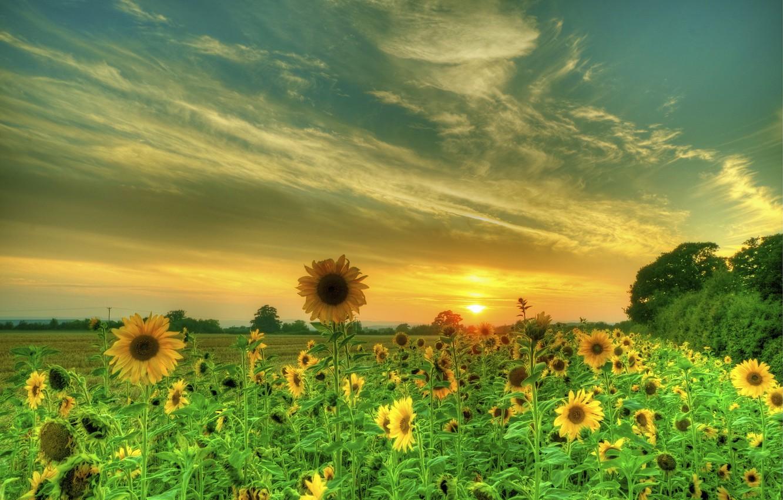Photo wallpaper field, sunflowers, sunset