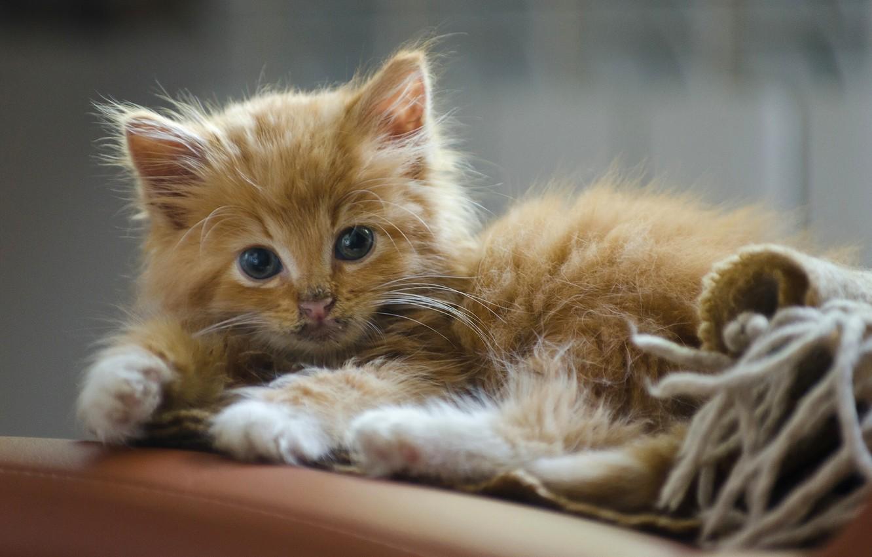 Photo wallpaper look, red, kitty, ginger kitten