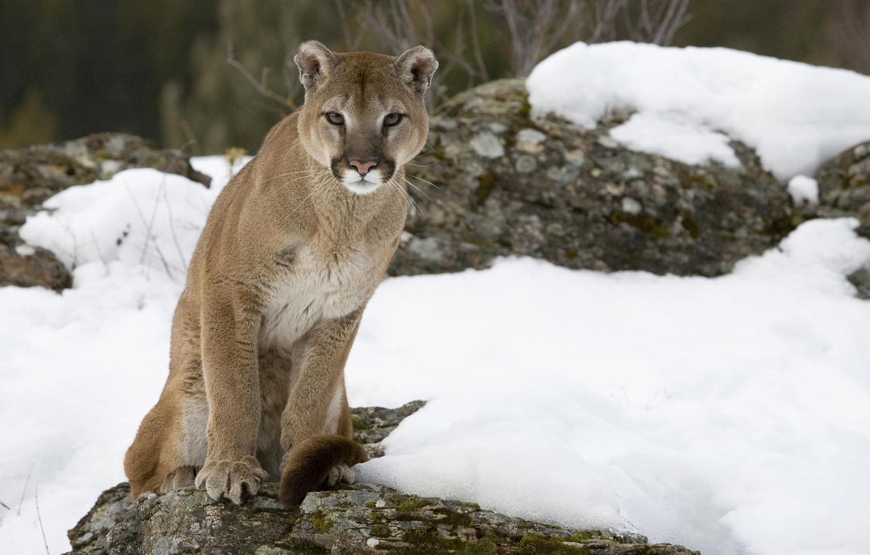 Photo wallpaper cat, snow, stone, Puma, mountain lion, Cougar