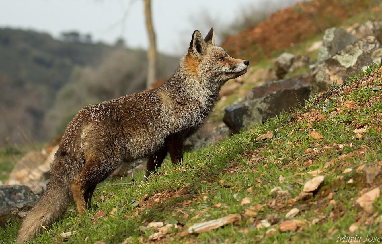 Photo wallpaper nature, background, Fox