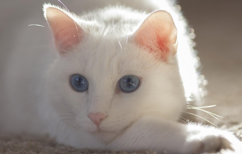 Photo wallpaper cat, eyes, cat, mustache, white