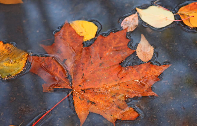 Photo wallpaper autumn, nature, puddle, maple, falling leaves