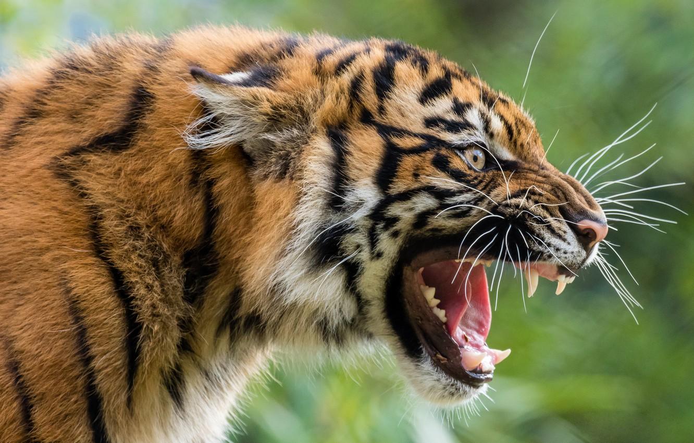 Photo wallpaper face, tiger, predator, grin, wild cat, aggressive