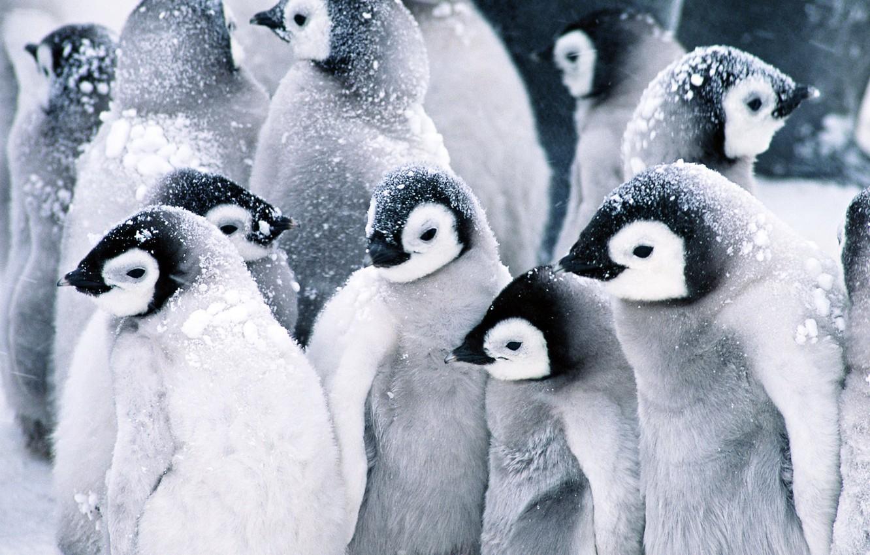 Photo wallpaper snow, penguins, Baby, Penguins
