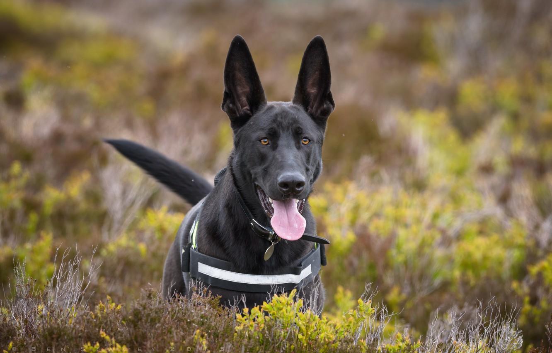 Photo wallpaper language, dog, ears, shepherd