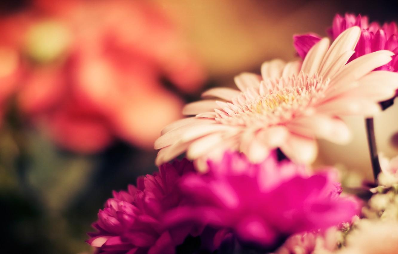 Photo wallpaper macro, flowers, nature, stems, focus, petals, buds, flowers, gerbera