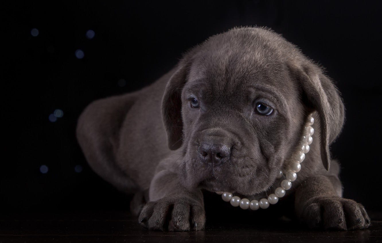 Wallpaper Necklace Puppy Breed Cane Corso Images For Desktop Section Sobaki Download