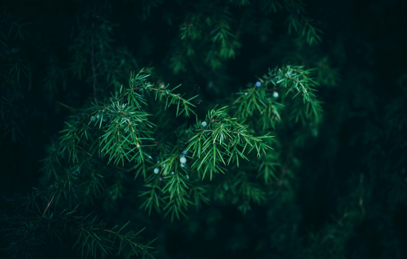 Photo wallpaper Nature, Needles, Green, Tree, The Wallpapers