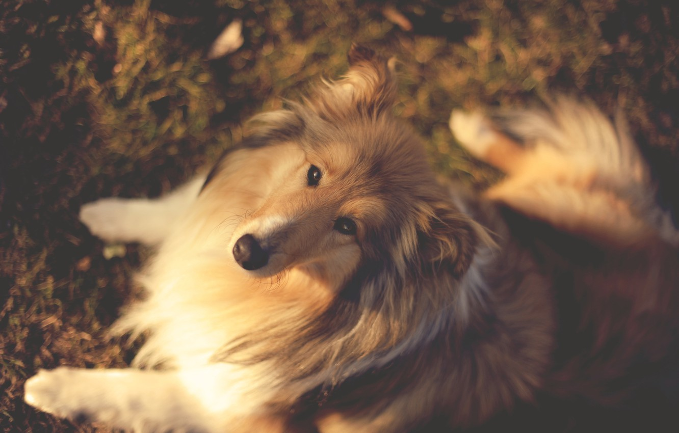 Photo wallpaper autumn, dogs, face, leaves, trees, nature, background, Wallpaper, dog, collie