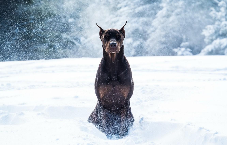 Wallpaper winter, snow, dog, Doberman