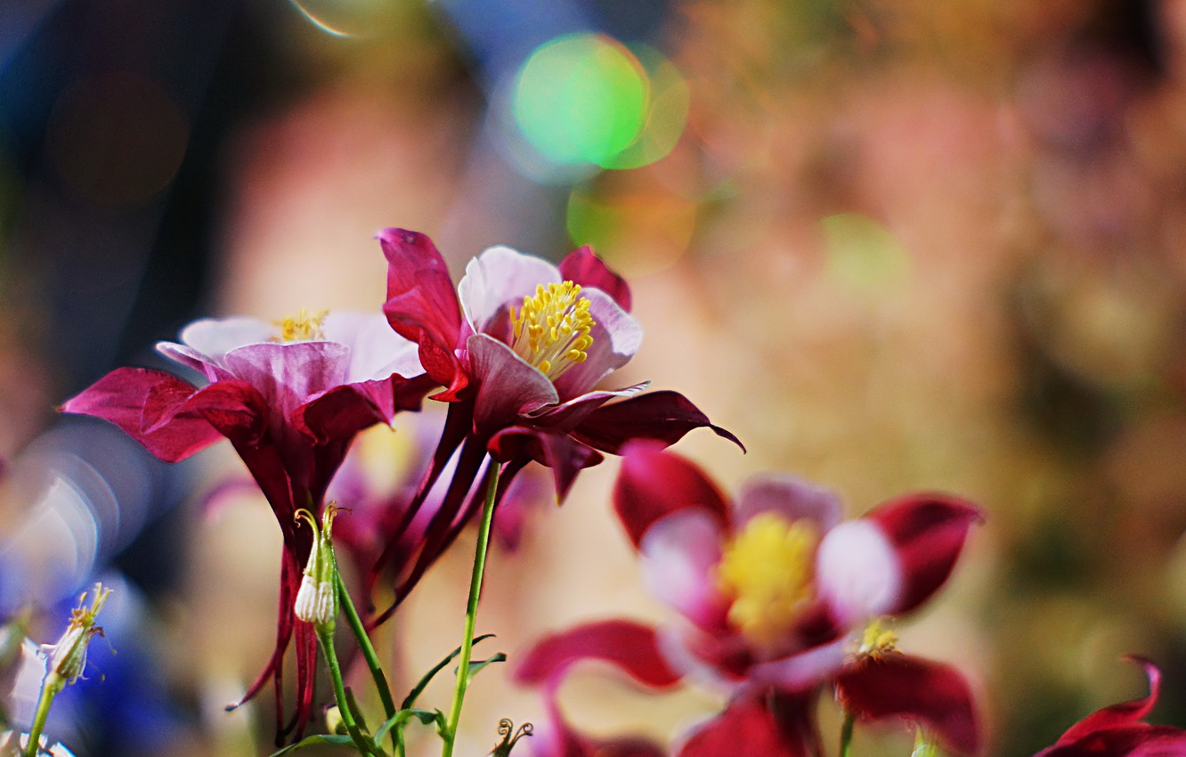 Photo wallpaper flowers, the catchment, Aquilegia, Burgundy-pink