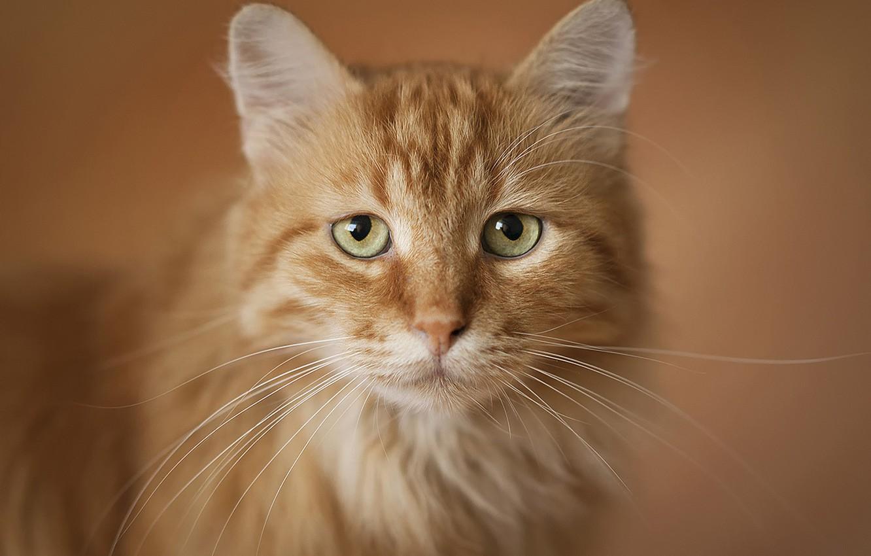 Photo wallpaper cat, portrait, red