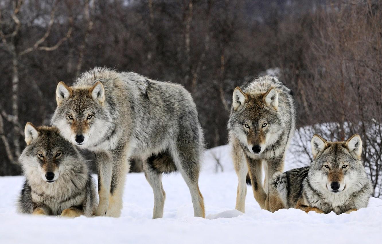 Photo wallpaper winter, look, snow, predator, pack, wolves, beast