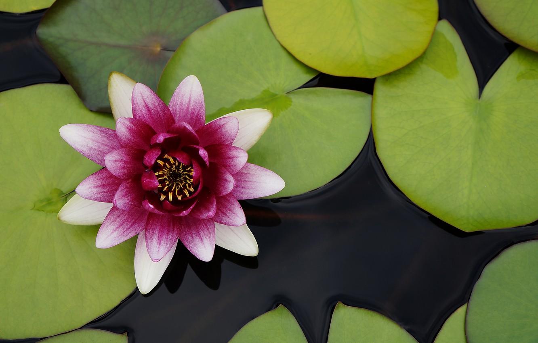 Photo wallpaper Lily, petals, Lily