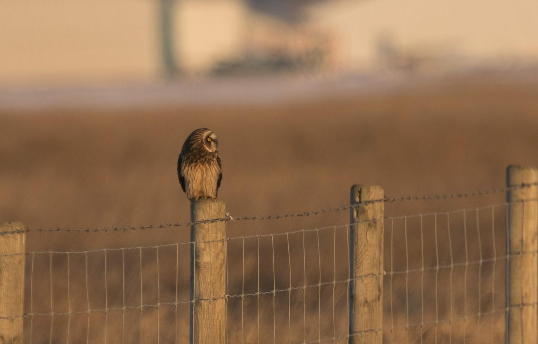 Photo wallpaper bird, the fence, predator, fence, profile, Short eared owl, Asio flammeus, short-eared owl