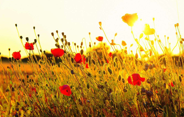 Photo wallpaper field, grass, the sun, sunset, flowers, nature, Maki, red