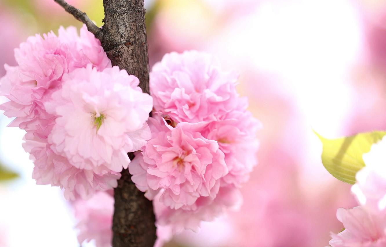 Photo wallpaper branch, spring, petals, flowering, savd