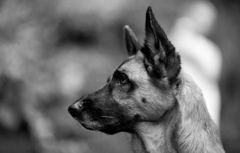 Photo wallpaper look, dog, black and white, shepherd, German