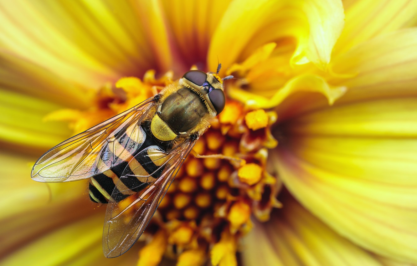 Photo wallpaper flower, macro, strips, yellow, strip, bee, OSA, wings, insect