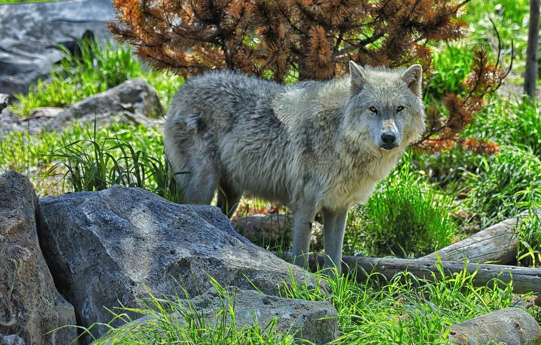Photo wallpaper stones, wolf, predator