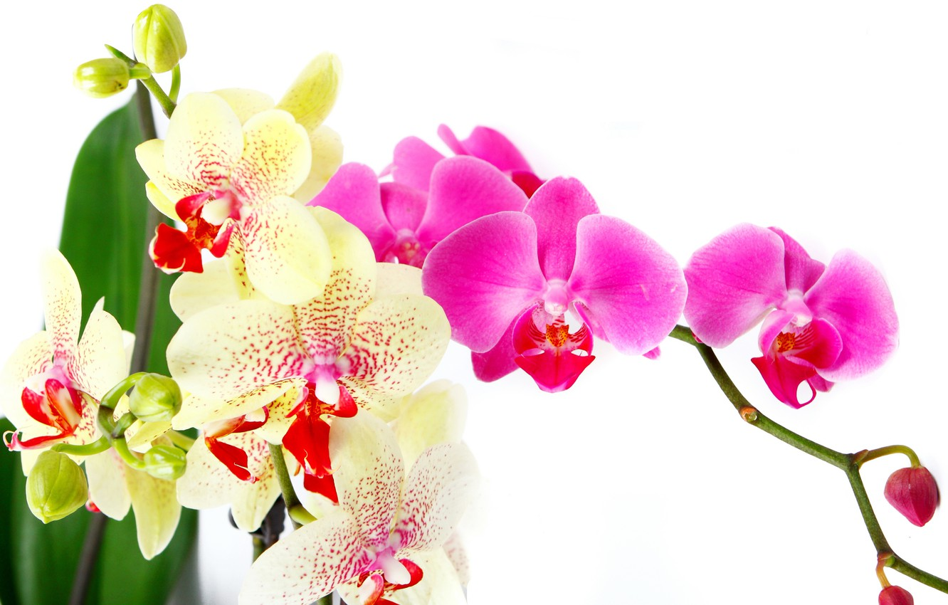 Photo wallpaper leaves, flowers, tenderness, beauty, petals, white, white, orchids, Orchid, pink, flowers, beauty, Phalaenopsis, phalaenopsis, Orchid, ...