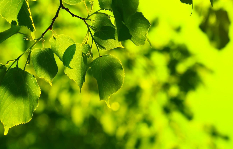 Photo wallpaper greens, summer, leaves, freshness, green, tree, leaf, spring, green, leaves, leaf, sheets, widescreen Wallpaper, leaves, …