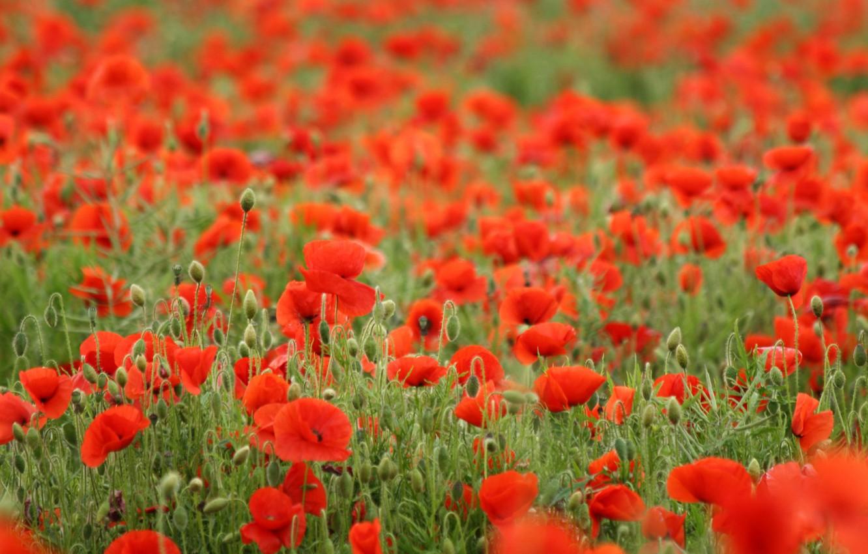 Photo wallpaper field, flowers, red, Mac