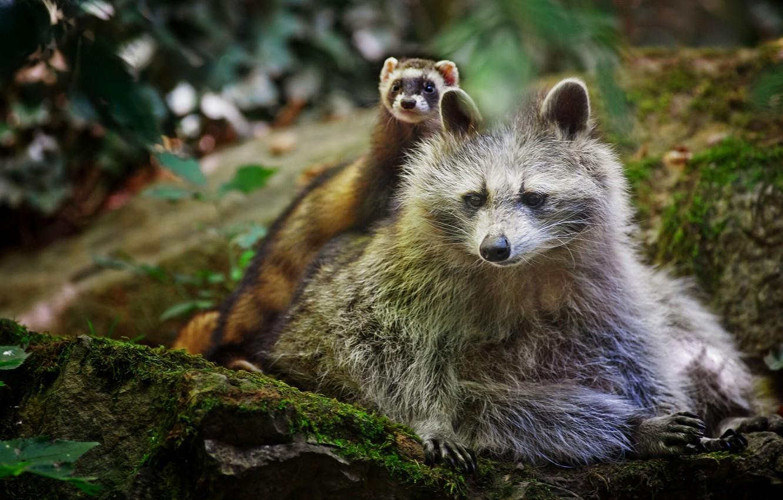 Photo wallpaper raccoon, friends, ferret