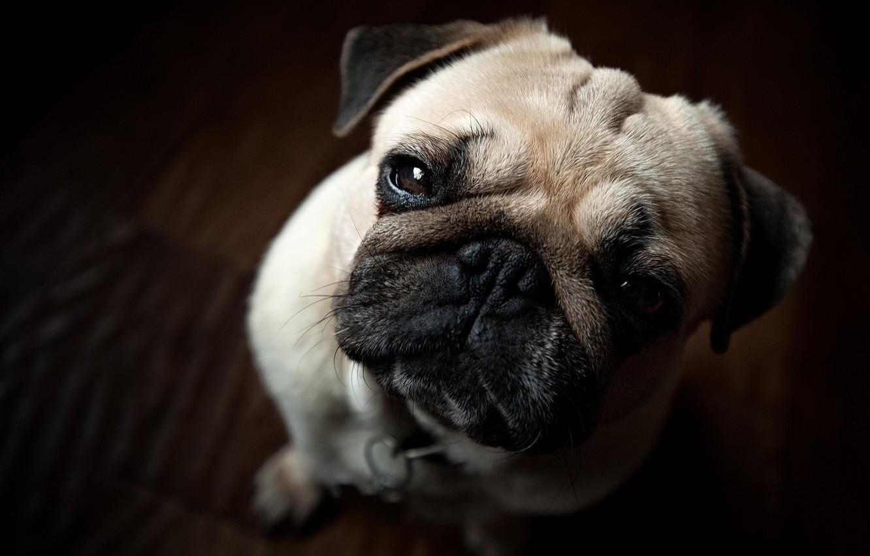 Photo wallpaper look, dog, pug