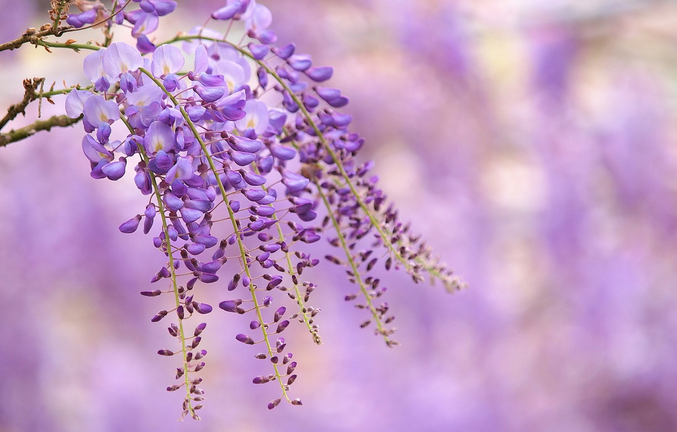 Photo wallpaper flowers, branch, lilac, Wisteria