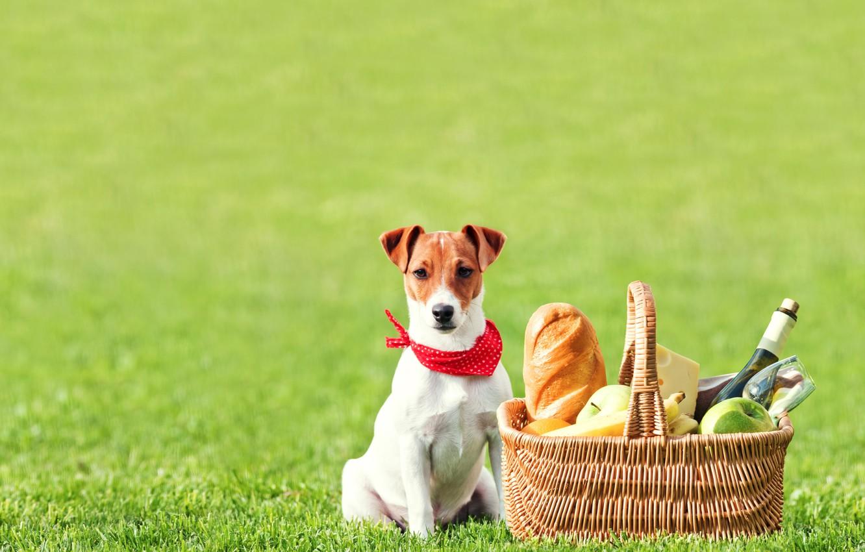 Photo wallpaper field, grass, wine, basket, apples, glass, bottle, cheese, bread, bananas, fruit, picnic, baton, Jack Russell …