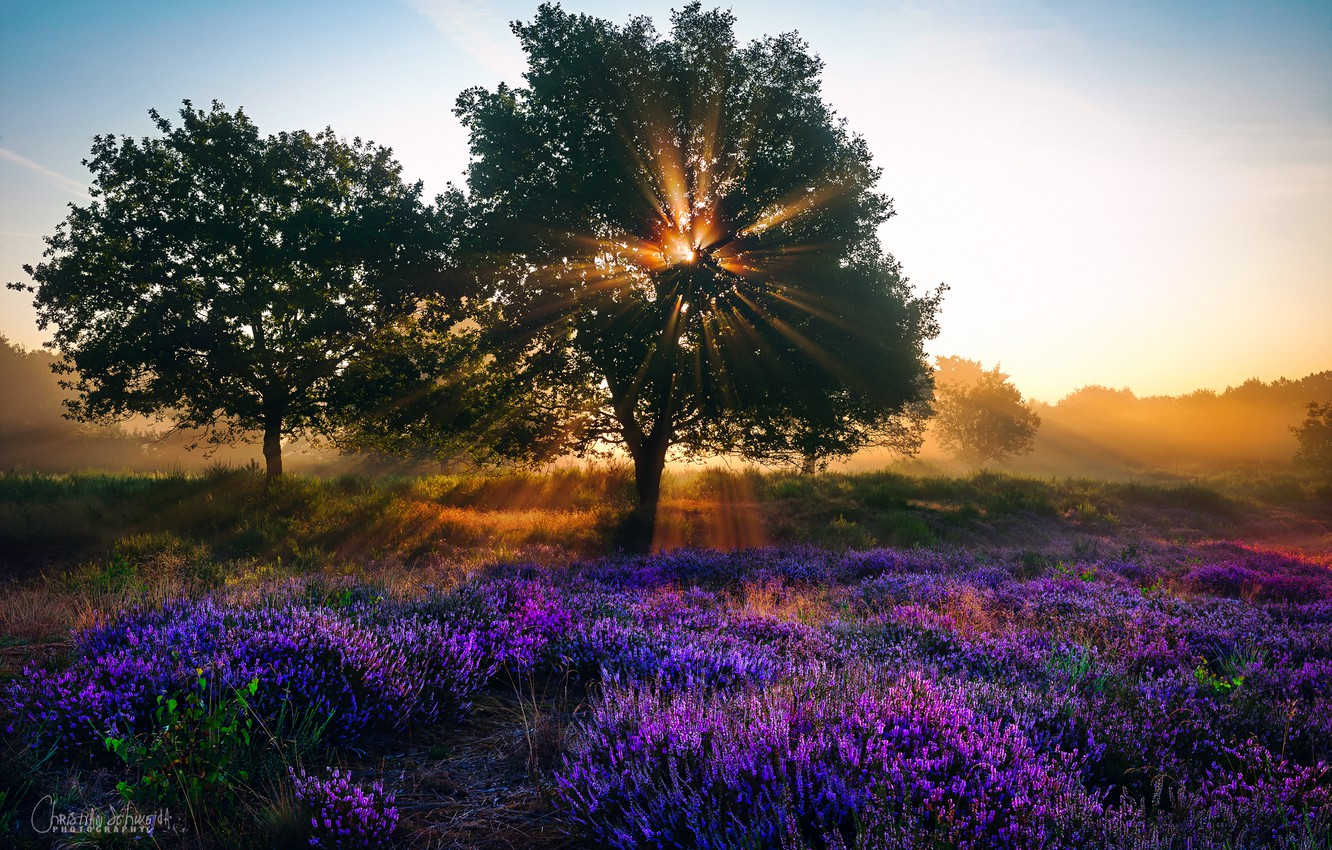 Photo wallpaper summer, rays, light, trees, flowers, Nature, the sun, lavender, August