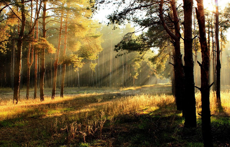 Photo wallpaper forest, light, nature, morning
