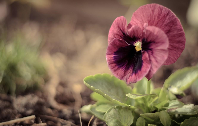 Photo wallpaper greens, flower, macro, pink, Pansy, viola, large