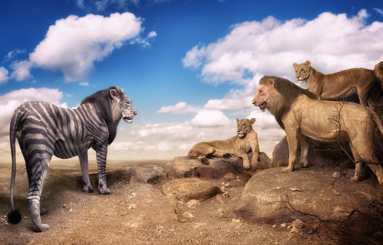 Photo wallpaper meeting, surprise, lions