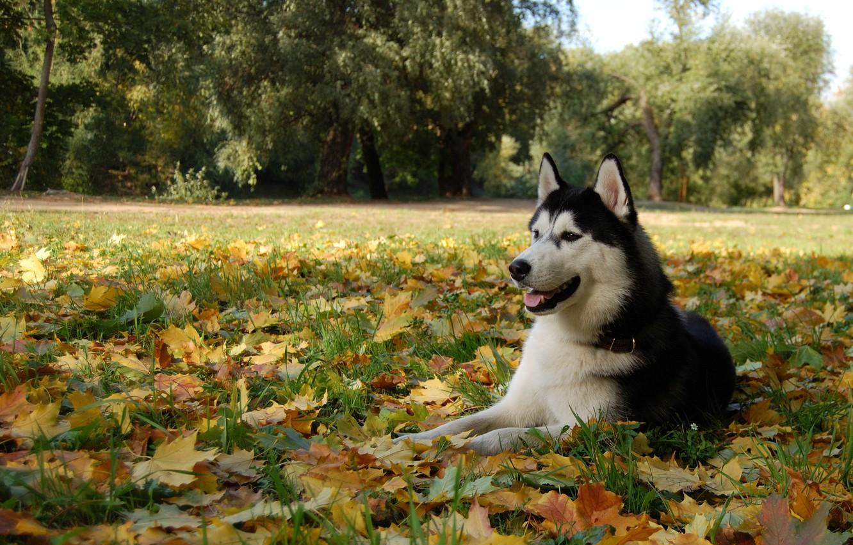 Photo wallpaper leaves, dog, husky, dog, Malamute